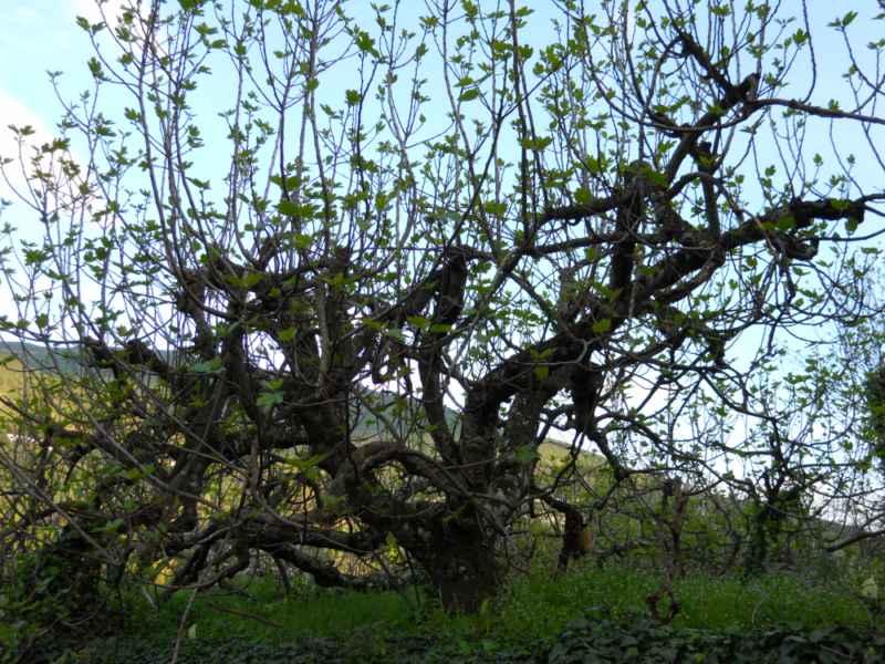 Ficus carica 3