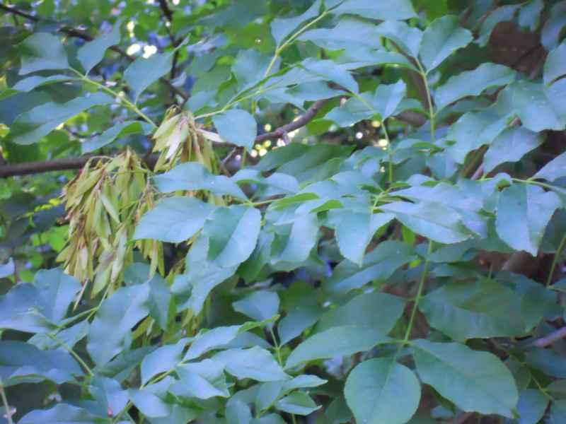 Fraxinus ornus hojas 2
