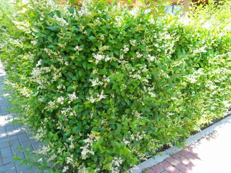 jardineros en acci n arbustos para crear seto en jardinera