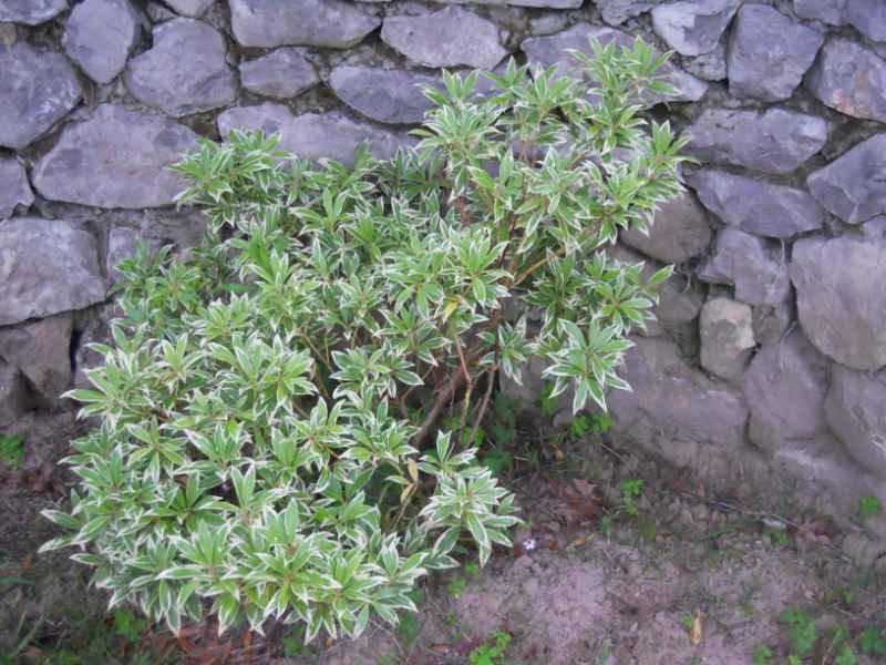 Pieris japonica 'Variegata' 3