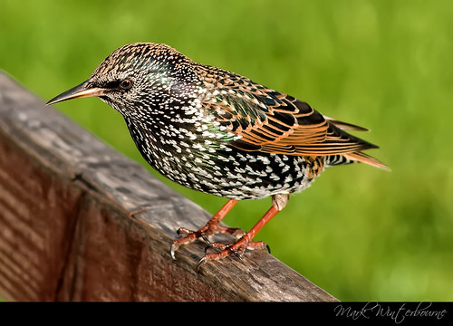 The Common Starling (Sturnus vulgaris)