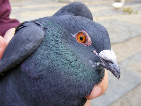 Pigeon-in-my-hand_23106-480x360