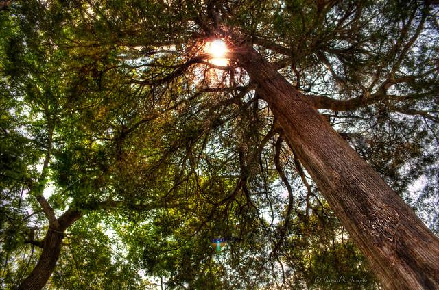 tree, sun, glare, spring