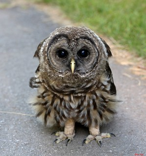 Barred Owl(Juvenile) 斑頭鵂鶹 0713-1
