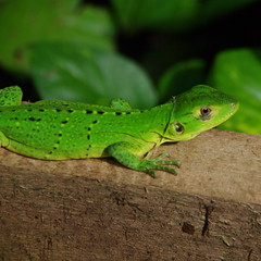 animal, amphibian, green lizard, reptile, lizard, green, fauna, close-up, lacerta, scaled reptile, wildlife,