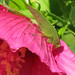 Katydid on pink hibiscus
