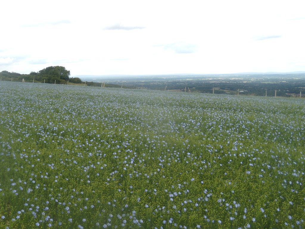 Flax field Hassocks to Lewes
