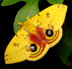 female Io moth