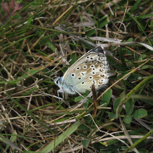 Chalkhill Blue underside