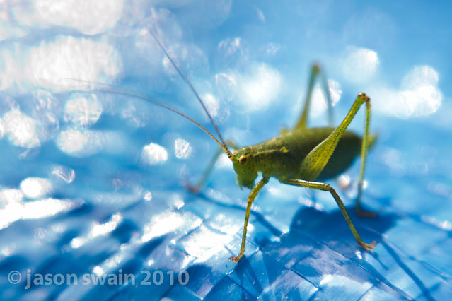 Lensbaby European Speckled Bush-Cricket Bokeh Wednesday