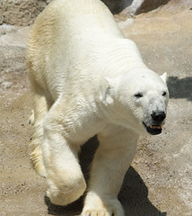 polar bear(0.0), animal(1.0), polar bear(1.0), mammal(1.0), bear(1.0),