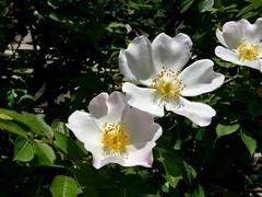 blossom, shrub, flower, plant, nature, rosa rubiginosa, rosa canina, wildflower, flora, rosa multiflora, rosa pimpinellifolia, petal,