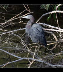 fluffy Little Blue Heron