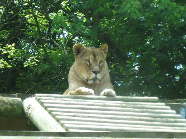 Lioness at Newquay Zoo, Cornwall