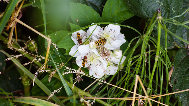 Hoverflies feeding
