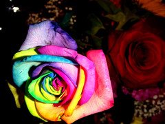 Where to get roses in a rainbow of colors,  Rainbow roses, Rainbow Rose