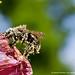 Pollen by Edgar Thissen