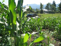 Corn and tractor