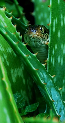 Florida Banded Water Snake in the Aloe Vera Plants by tropicalart77