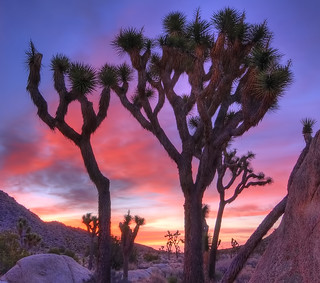 Sunrise Joshua Trees