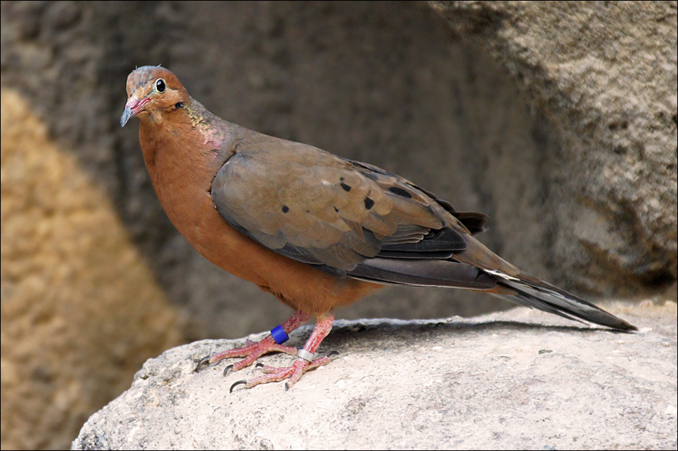 Socorro Dove Returns to Mexico for First Time in Over 40 Years