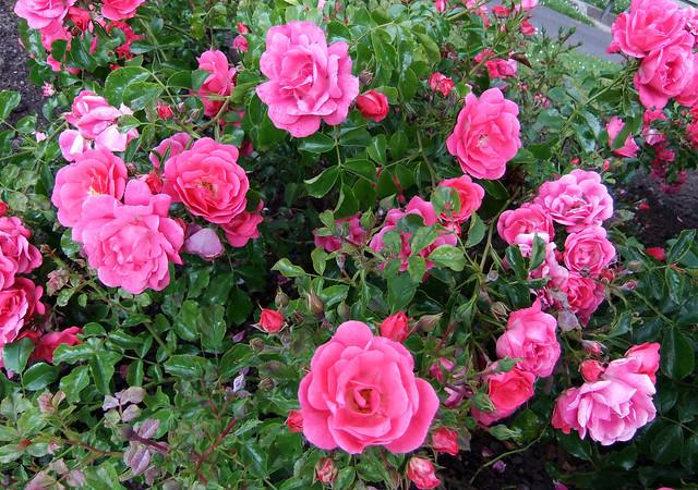 flower carpet rose flickr photo sharing. Black Bedroom Furniture Sets. Home Design Ideas