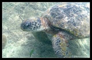 Tortue Verte- Snorkeling Plage du Shari la- Pulau Kecil- Perhentian- Malaisie- Malaysia