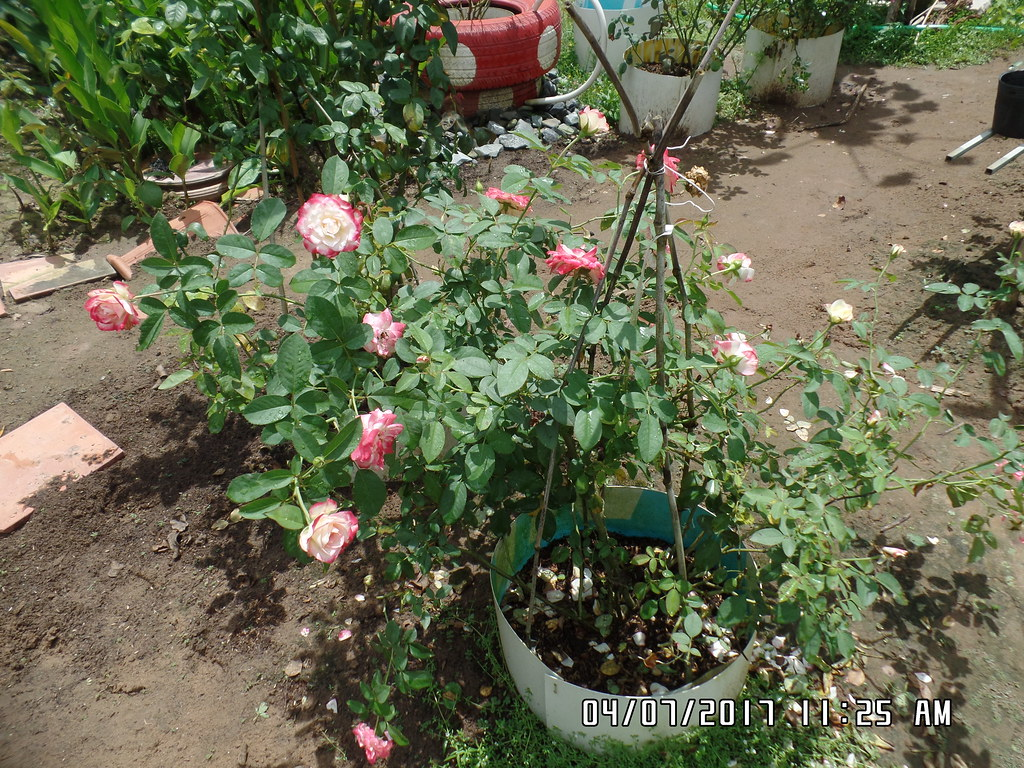 hong ngoai cherry parfait rose (1)