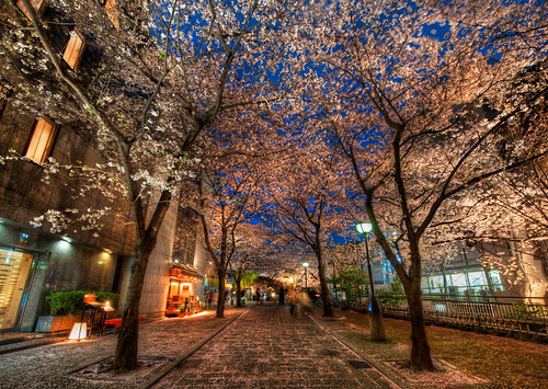 A Silent Evening in Kyoto Under the Cherry Blossoms