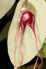 Aristolochia tricaudata