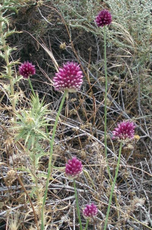 Allium sphaerocephalon 4752443510_9ea58a9209_o