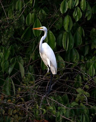 Great Egret (Egretta Alba Garza Grande)