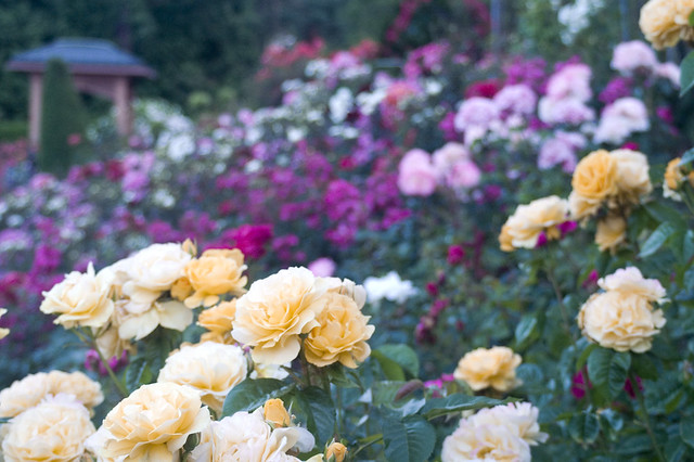 International Rose Garden | 7 Free Things To Do in Portland, Oregon | packmeto.com