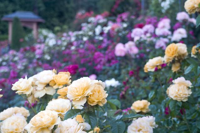 International Rose Garden | 7 Free Things To Do in Portland, Oregon | packmeto.com