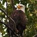 72pp final kenai river eagle