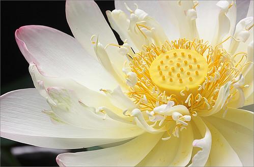 Lotus Flower - Lotus_Petals, IMG_1184 by Bahman Farzad