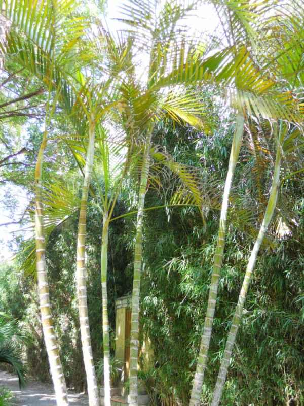 Chrysalidocarpus lutescens v 1
