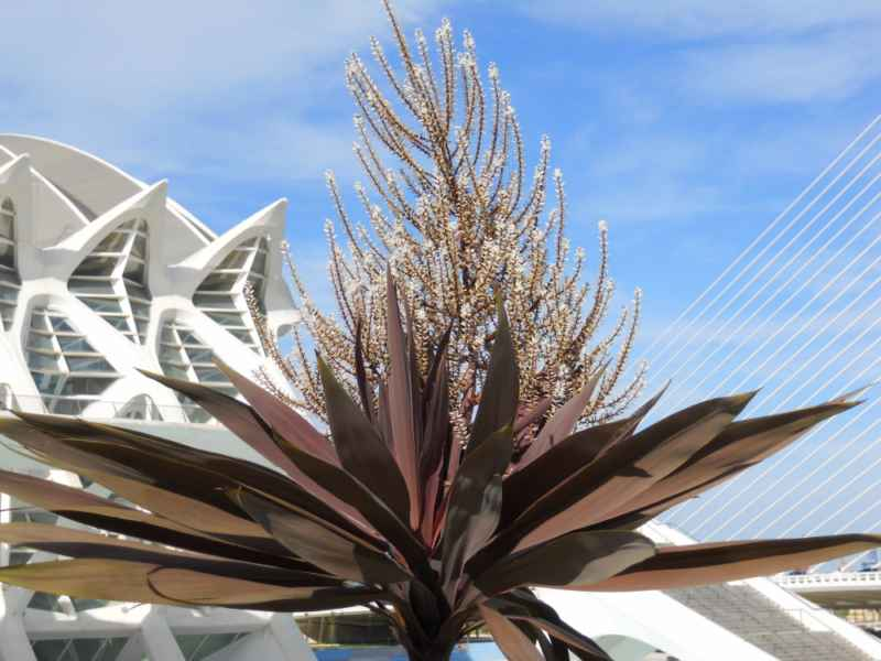 Cordyline australis 'Red Star'.. flor 2