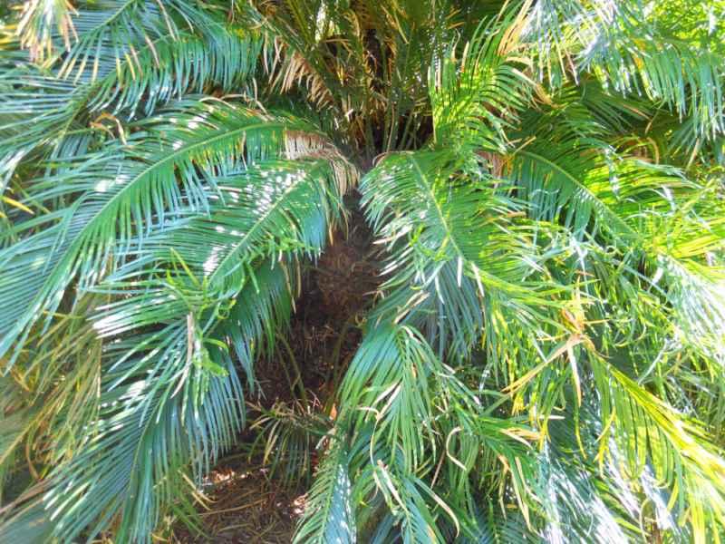 Cycas revoluta hojas 4