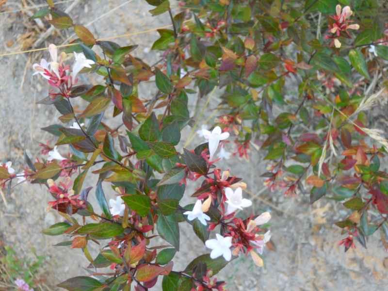 Abelia x grandiflora 'Francis Mason' 1