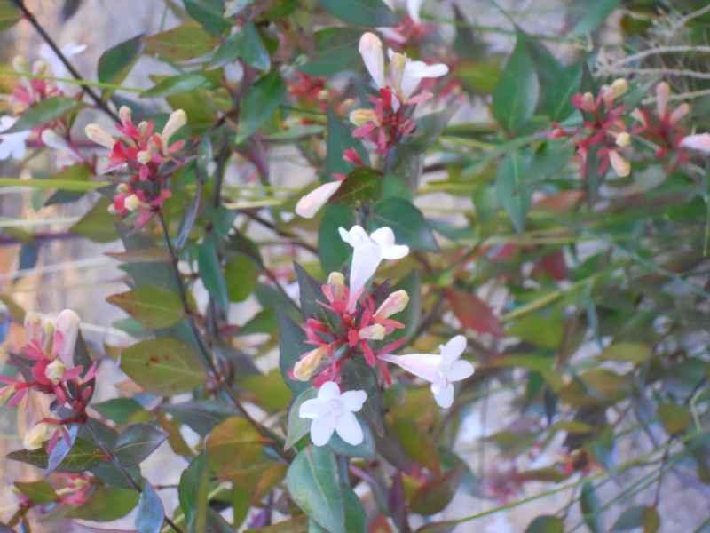 Abelia x grandiflora 'Francis Mason' 2