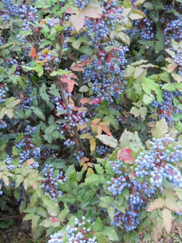 Jardineros en acci n mahonia japonica for Planta decorativa toxica