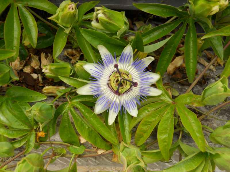 Passiflora caerulea 3