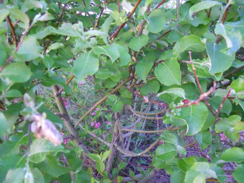 Salix caprea tronco 4