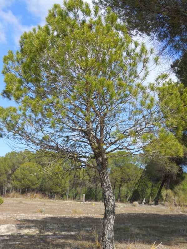 Pinus pinea v 4