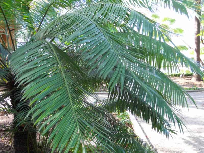 Cycas circinalis hojas 2
