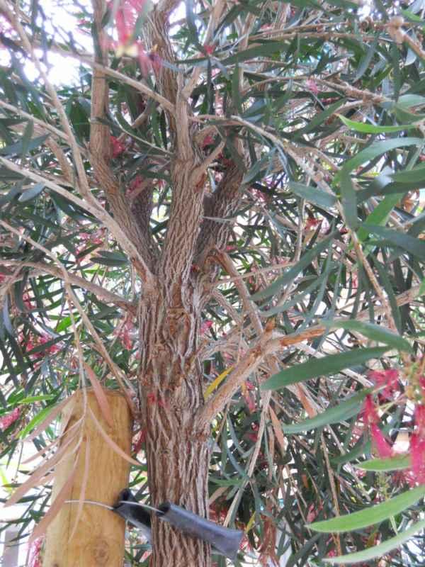 Callistemon salignus copa 2