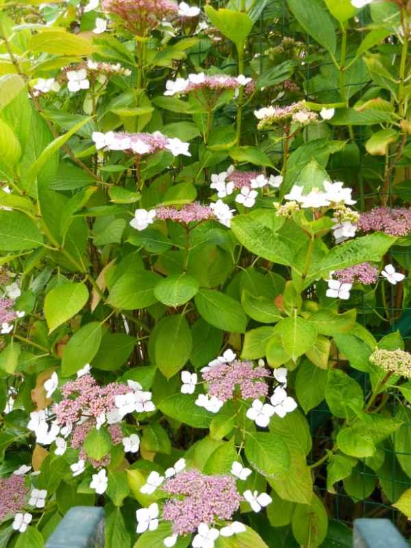 Hydrangea aspera 'Macrophylla' v 1