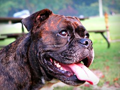 puppy(0.0), olde english bulldogge(0.0), dog breed(1.0), animal(1.0), dog(1.0), pet(1.0), close-up(1.0), carnivoran(1.0), staffordshire bull terrier(1.0), bulldog(1.0),