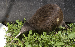 New Zealand Brown Kiwi